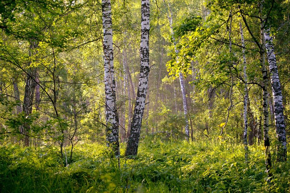 Léčebná síla z chladných lesů