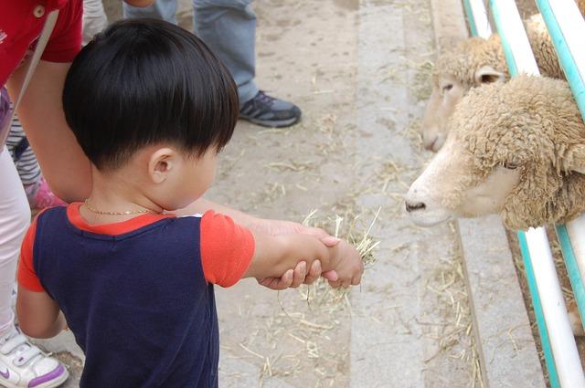 krmení oveček