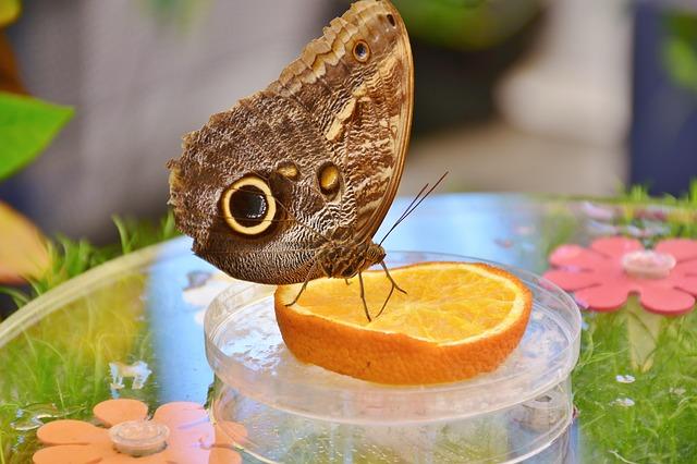 motýl na ovoci